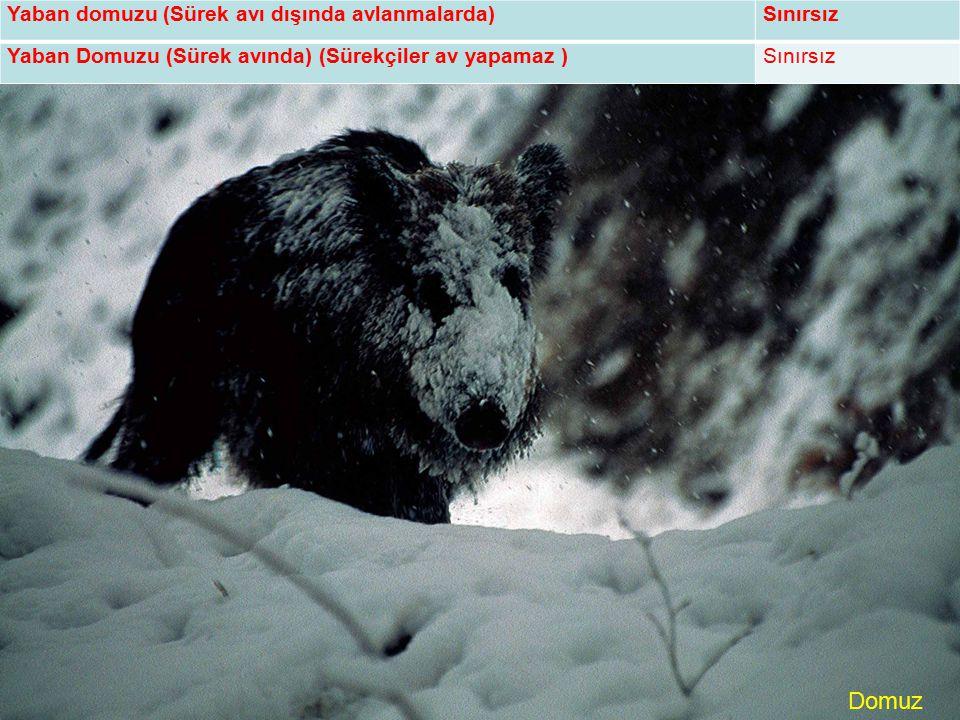 Domuz Yaban domuzu (Sürek avı dışında avlanmalarda)Sınırsız Yaban Domuzu (Sürek avında) (Sürekçiler av yapamaz )Sınırsız