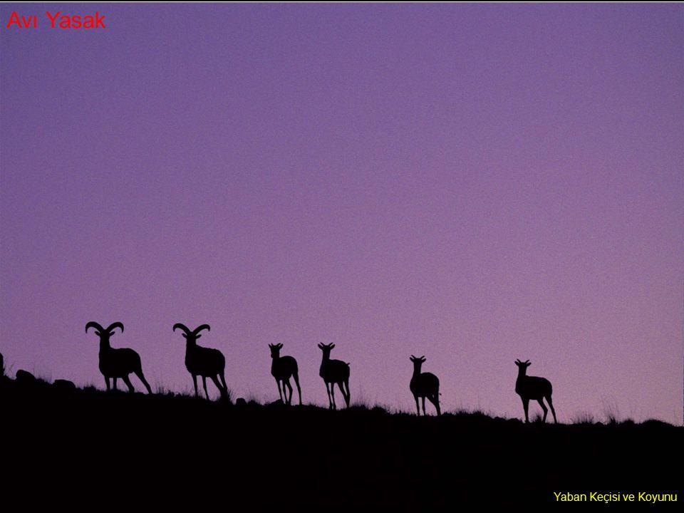 Yaban Keçisi ve Koyunu Avı Yasak