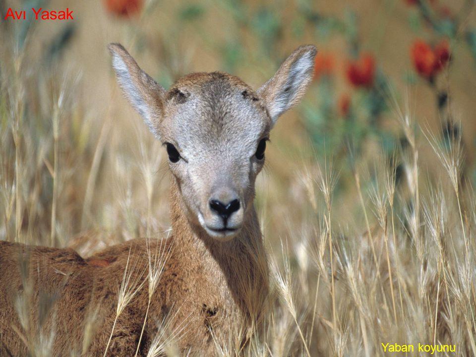 Yaban koyunu Avı Yasak