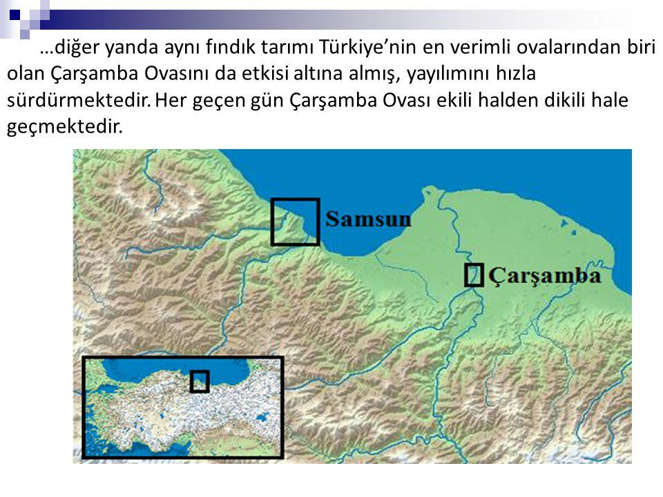 …diğer yanda aynı fındık tarımı Türkiye'nin en verimli ovalarından biri olan Çarşamba Ovasını da etkisi altına almış, yayılımını hızla sürdürmektedir.