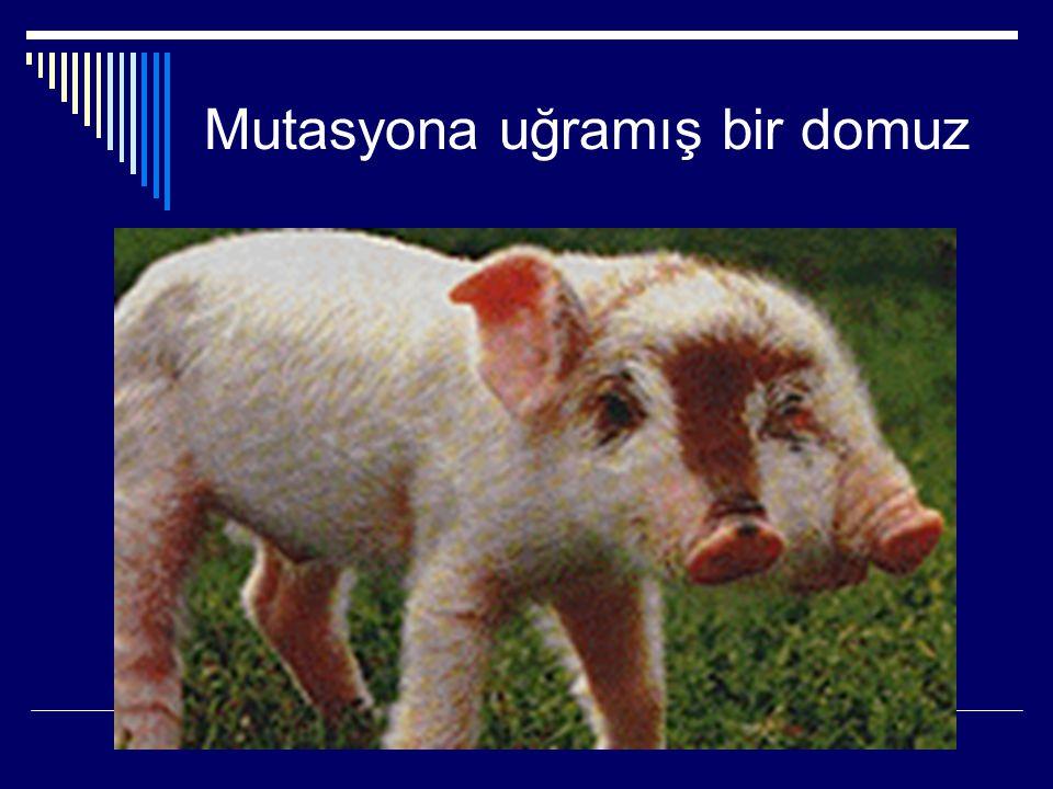 Mutasyona uğramış bir domuz