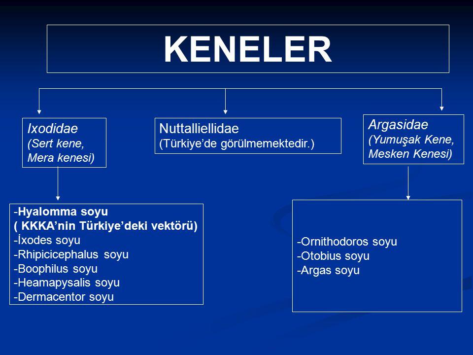 Doç Dr. Celalettin R. ÇELEBİ & Dr. Nalan AKYOL Ixodidae (Sert kene, Mera kenesi) Argasidae (Yumuşak Kene, Mesken Kenesi) Nuttalliellidae (Türkiye'de g