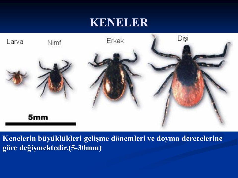 Doç Dr. Celalettin R. ÇELEBİ & Dr. Nalan AKYOL Kenelerin büyüklükleri gelişme dönemleri ve doyma derecelerine göre değişmektedir.(5-30mm) KENELER