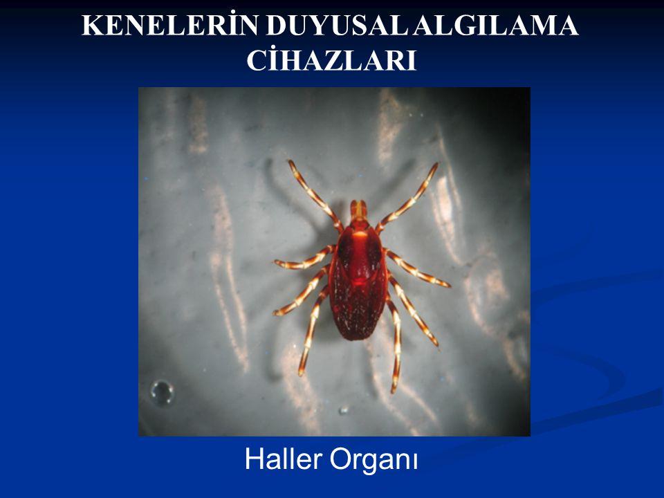 Doç Dr. Celalettin R. ÇELEBİ & Dr. Nalan AKYOL KENELERİN DUYUSAL ALGILAMA CİHAZLARI Haller Organı