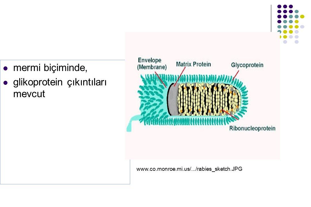 mermi biçiminde, glikoprotein çıkıntıları mevcut www.co.monroe.mi.us/.../rabies_sketch.JPG