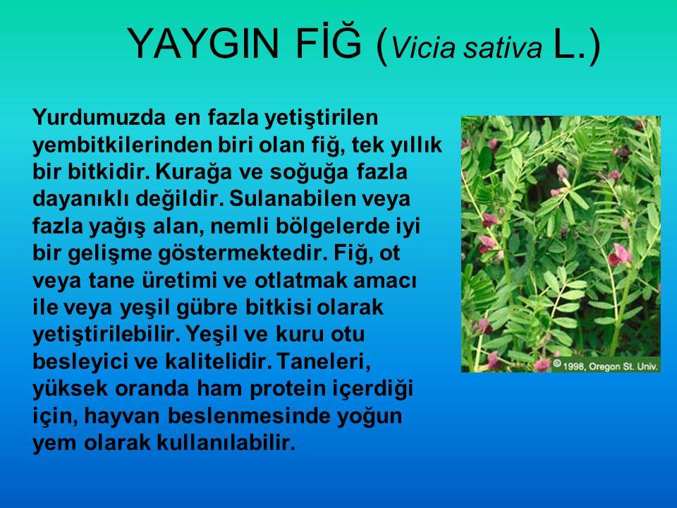 YAYGIN FİĞ ( Vicia sativa L.) Yurdumuzda en fazla yetiştirilen yembitkilerinden biri olan fiğ, tek yıllık bir bitkidir. Kurağa ve soğuğa fazla dayanık