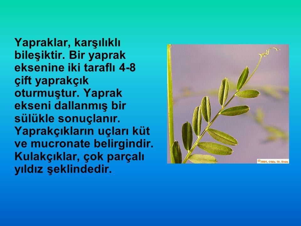 Yapraklar, karşılıklı bileşiktir. Bir yaprak eksenine iki taraflı 4-8 çift yaprakçık oturmuştur. Yaprak ekseni dallanmış bir sülükle sonuçlanır. Yapra