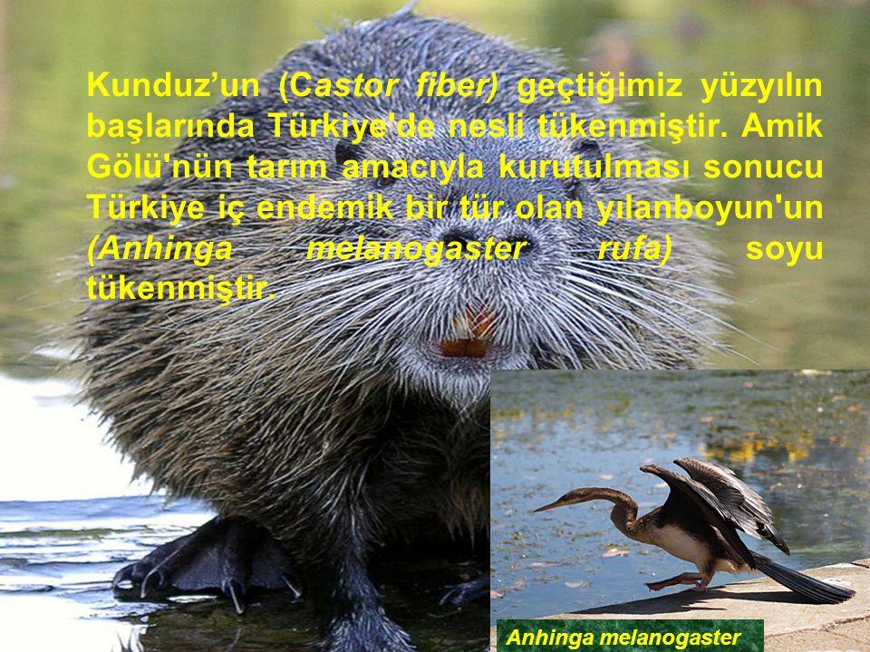Kunduz'un (Castor fiber) geçtiğimiz yüzyılın başlarında Türkiye'de nesli tükenmiştir. Amik Gölü'nün tarım amacıyla kurutulması sonucu Türkiye iç endem