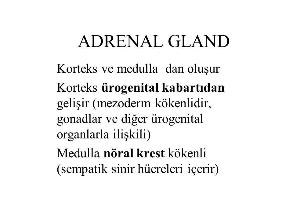 ADRENAL GLAND Korteks ve medulla dan oluşur Korteks ürogenital kabartıdan gelişir (mezoderm kökenlidir, gonadlar ve diğer ürogenital organlarla ilişki