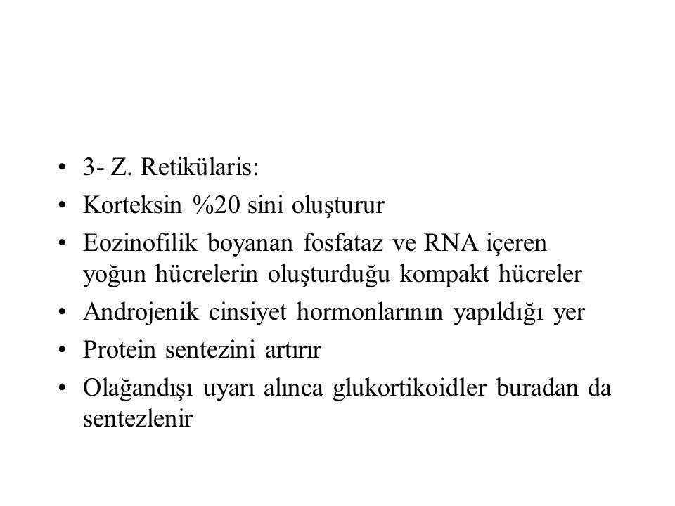 3- Z. Retikülaris: Korteksin %20 sini oluşturur Eozinofilik boyanan fosfataz ve RNA içeren yoğun hücrelerin oluşturduğu kompakt hücreler Androjenik ci