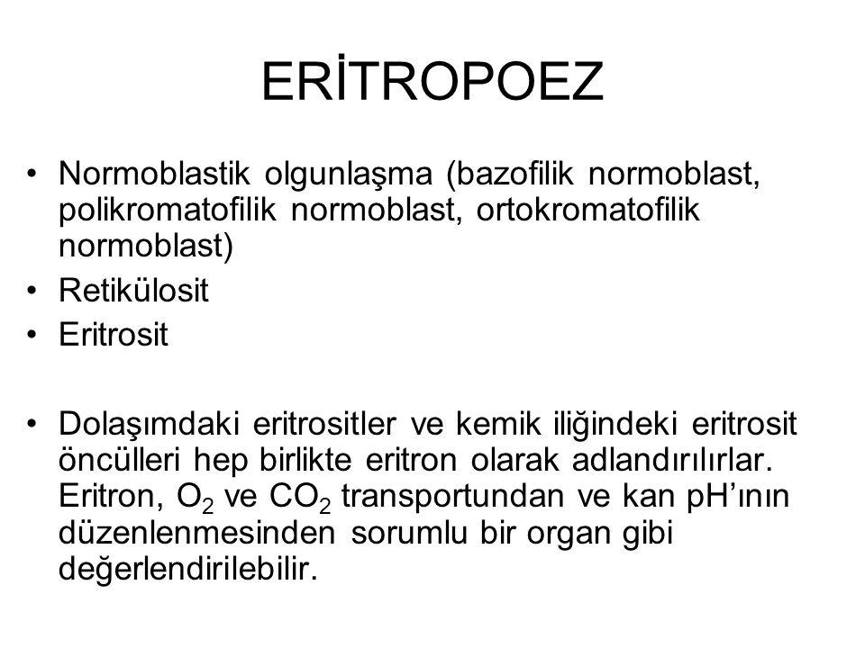 ERİTROPOEZ Normoblastik olgunlaşma (bazofilik normoblast, polikromatofilik normoblast, ortokromatofilik normoblast) Retikülosit Eritrosit Dolaşımdaki