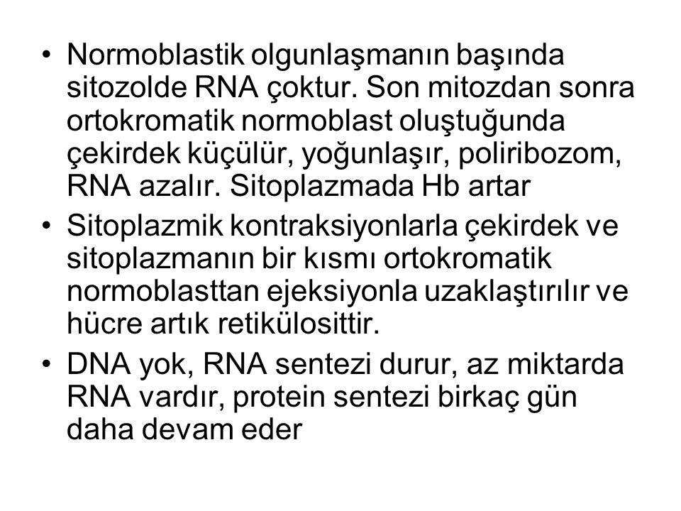 Normoblastik olgunlaşmanın başında sitozolde RNA çoktur. Son mitozdan sonra ortokromatik normoblast oluştuğunda çekirdek küçülür, yoğunlaşır, poliribo