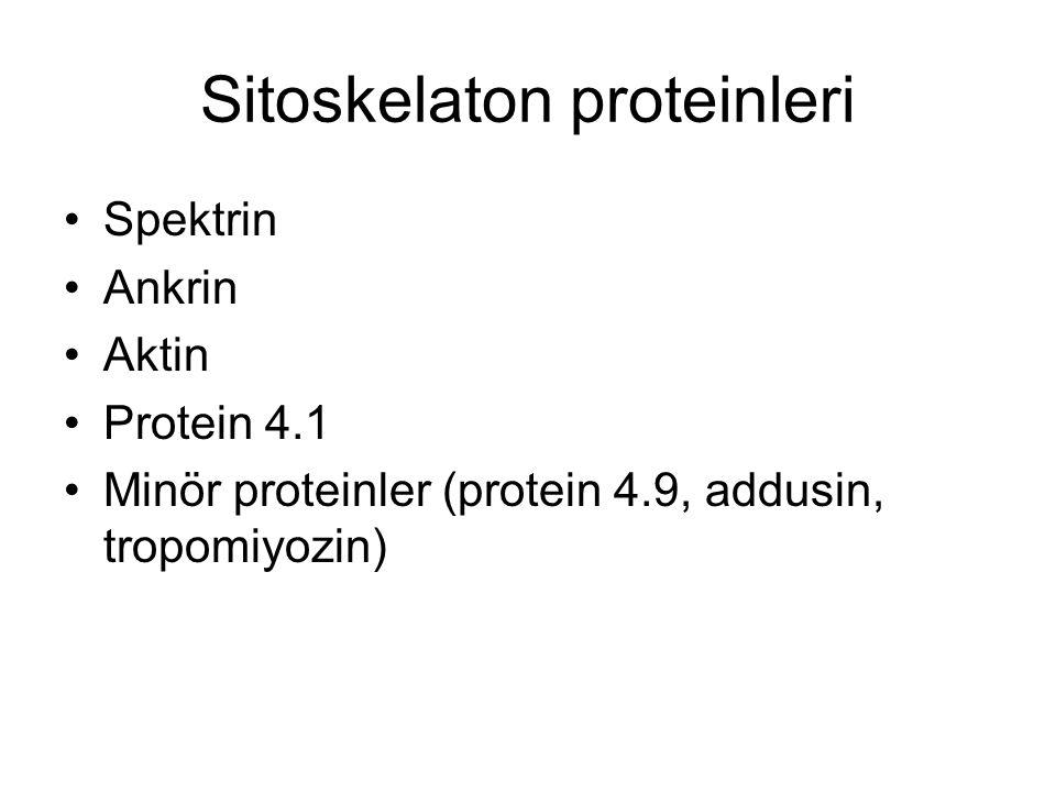 Sitoskelaton proteinleri Spektrin Ankrin Aktin Protein 4.1 Minör proteinler (protein 4.9, addusin, tropomiyozin)