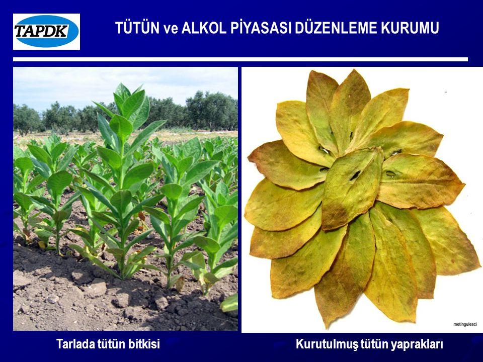 TÜTÜN ve ALKOL PİYASASI DÜZENLEME KURUMU Tarlada tütün bitkisiKurutulmuş tütün yaprakları