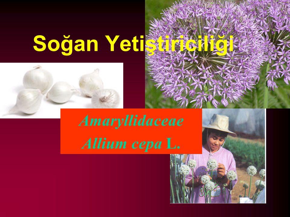 Soğan Yetiştiriciliği Amaryllidaceae Allium cepa L.