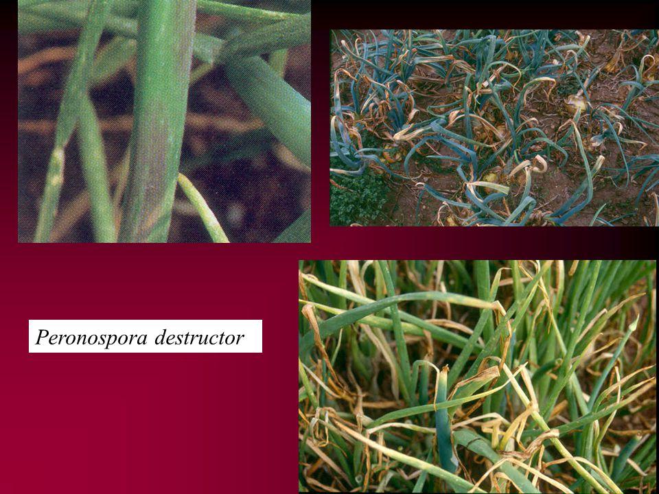 Peronospora destructor
