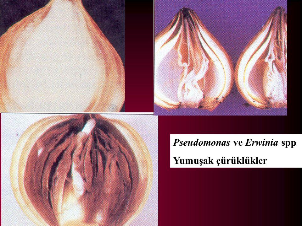 Pseudomonas ve Erwinia spp Yumuşak çürüklükler