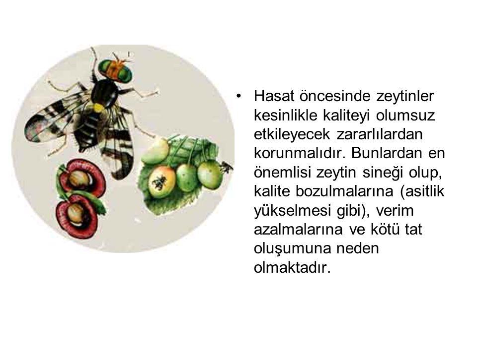 Hasat öncesinde zeytinler kesinlikle kaliteyi olumsuz etkileyecek zararlılardan korunmalıdır. Bunlardan en önemlisi zeytin sineği olup, kalite bozulma