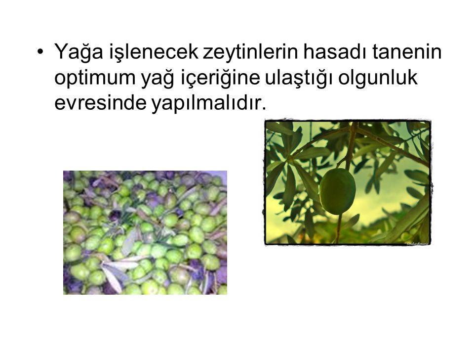 Yağa işlenecek zeytinlerin hasadı tanenin optimum yağ içeriğine ulaştığı olgunluk evresinde yapılmalıdır.
