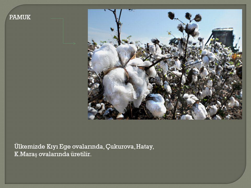 PAMUK Ülkemizde Kıyı Ege ovalarında, Çukurova, Hatay, K.Mara ş ovalarında üretilir.