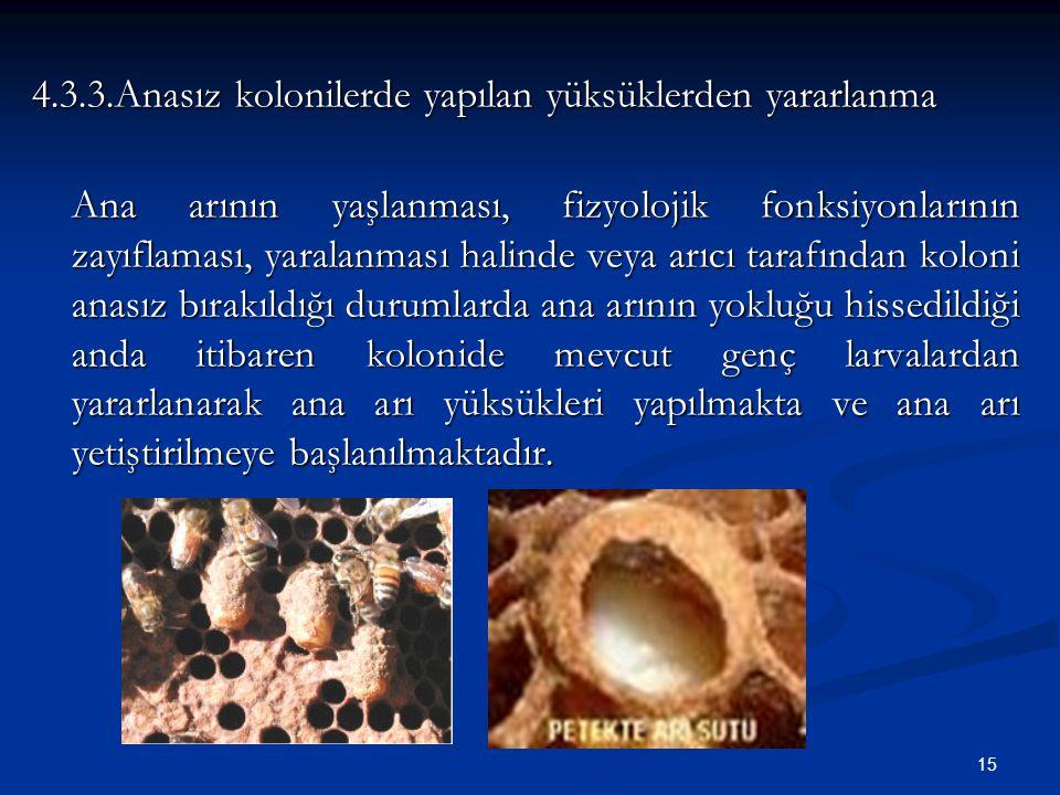 15 4.3.3.Anasız kolonilerde yapılan yüksüklerden yararlanma Ana arının yaşlanması, fizyolojik fonksiyonlarının zayıflaması, yaralanması halinde veya a