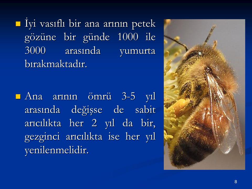 8 İyi vasıflı bir ana arının petek gözüne bir günde 1000 ile 3000 arasında yumurta bırakmaktadır. İyi vasıflı bir ana arının petek gözüne bir günde 10