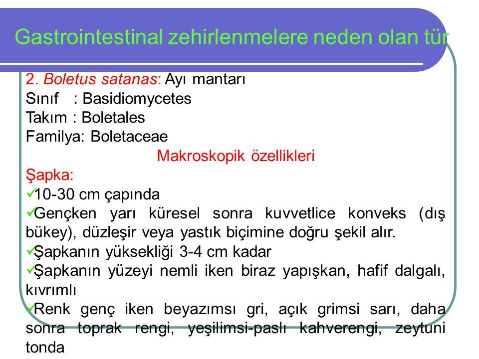 Gastrointestinal zehirlenmelere neden olan tür 2. Boletus satanas: Ayı mantarı Sınıf: Basidiomycetes Takım : Boletales Familya: Boletaceae Makroskopik