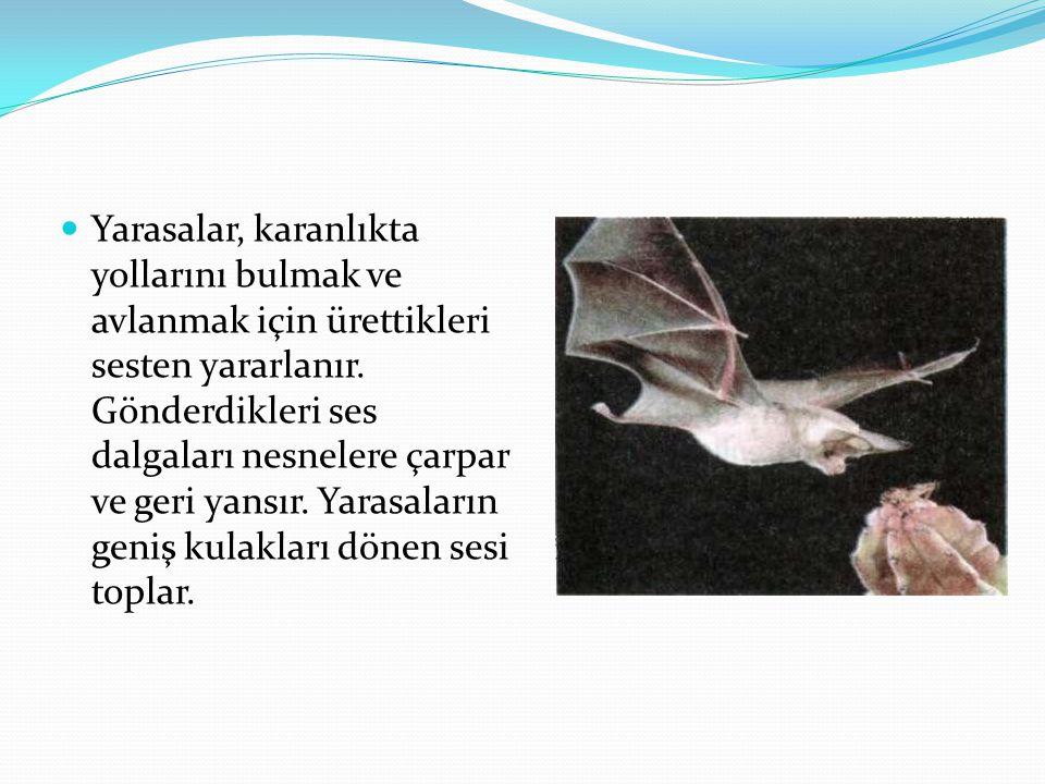Yarasalar, karanlıkta yollarını bulmak ve avlanmak için ürettikleri sesten yararlanır. Gönderdikleri ses dalgaları nesnelere çarpar ve geri yansır. Ya
