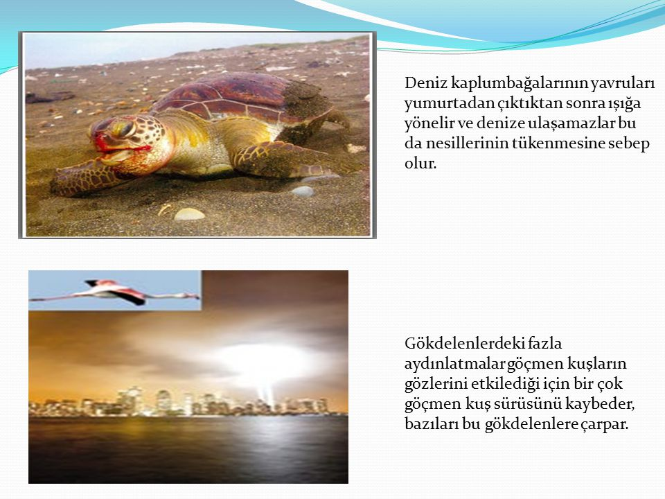 Deniz kaplumbağalarının yavruları yumurtadan çıktıktan sonra ışığa yönelir ve denize ulaşamazlar bu da nesillerinin tükenmesine sebep olur.