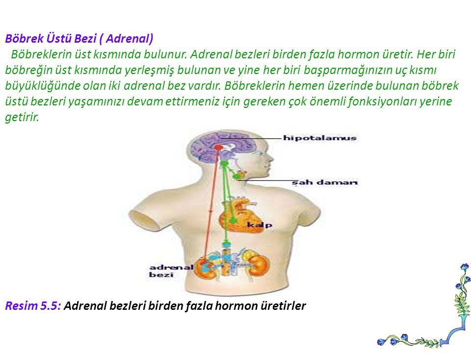 Böbrek Üstü Bezi ( Adrenal) Böbreklerin üst kısmında bulunur. Adrenal bezleri birden fazla hormon üretir. Her biri böbreğin üst kısmında yerleşmiş bul