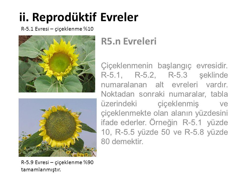 ii. Reprodüktif Evreler R5.n Evreleri Çiçeklenmenin başlangıç evresidir. R-5.1, R-5.2, R-5.3 şeklinde numaralanan alt evreleri vardır. Noktadan sonrak