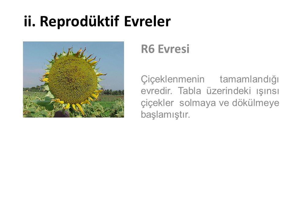 ii. Reprodüktif Evreler R6 Evresi Çiçeklenmenin tamamlandığı evredir. Tabla üzerindeki ışınsı çiçekler solmaya ve dökülmeye başlamıştır.