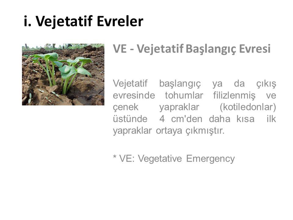 i. Vejetatif Evreler VE - Vejetatif Başlangıç Evresi Vejetatif başlangıç ya da çıkış evresinde tohumlar filizlenmiş ve çenek yapraklar (kotiledonlar)