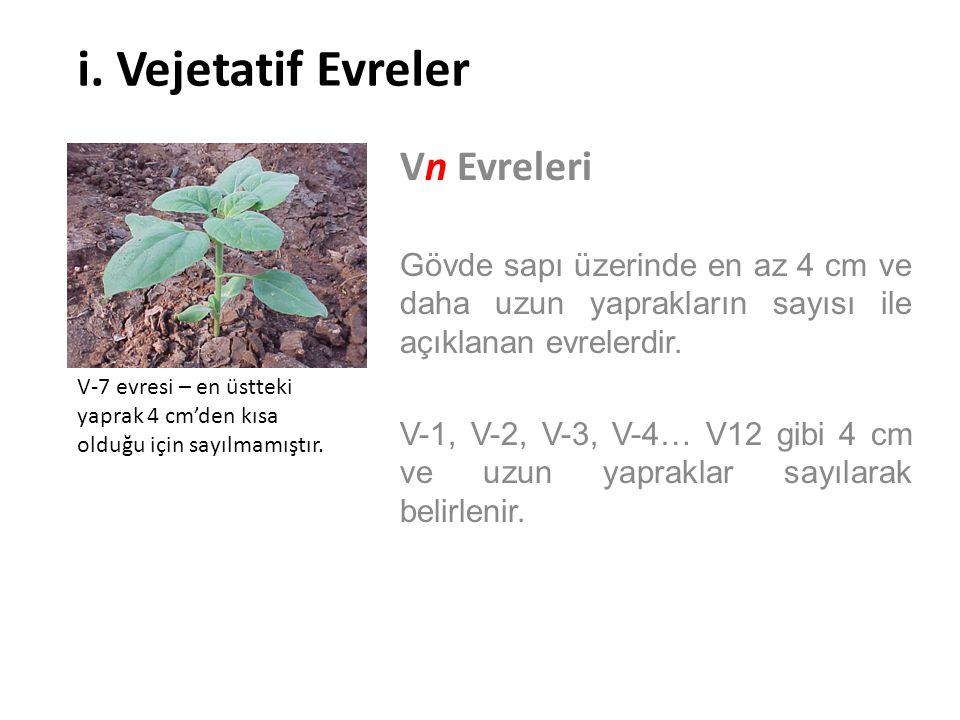 i. Vejetatif Evreler Vn Evreleri Gövde sapı üzerinde en az 4 cm ve daha uzun yaprakların sayısı ile açıklanan evrelerdir. V-1, V-2, V-3, V-4… V12 gibi