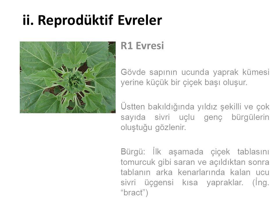 ii. Reprodüktif Evreler R1 Evresi Gövde sapının ucunda yaprak kümesi yerine küçük bir çiçek başı oluşur. Üstten bakıldığında yıldız şekilli ve çok say