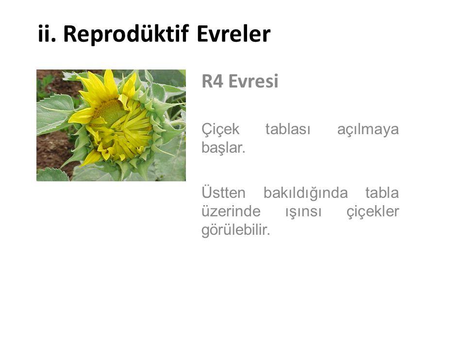 ii. Reprodüktif Evreler R4 Evresi Çiçek tablası açılmaya başlar. Üstten bakıldığında tabla üzerinde ışınsı çiçekler görülebilir.