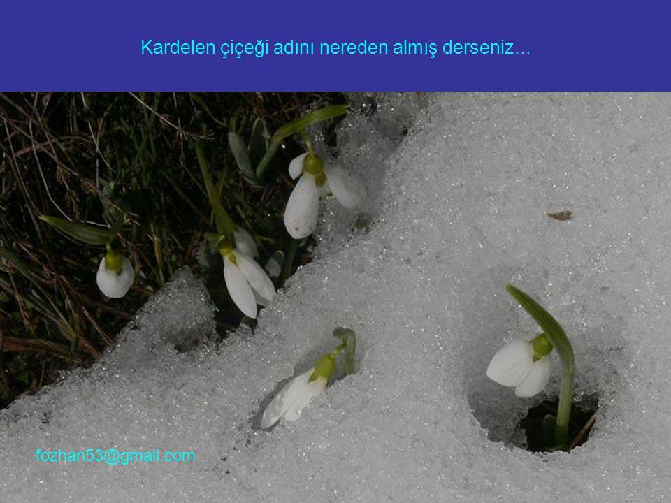 Kardelen çiçeği adını nereden almış derseniz... fozhan53@gmail.com