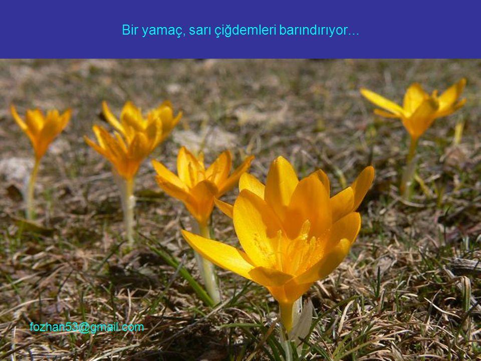 Bir yamaç, sarı çiğdemleri barındırıyor... fozhan53@gmail.com