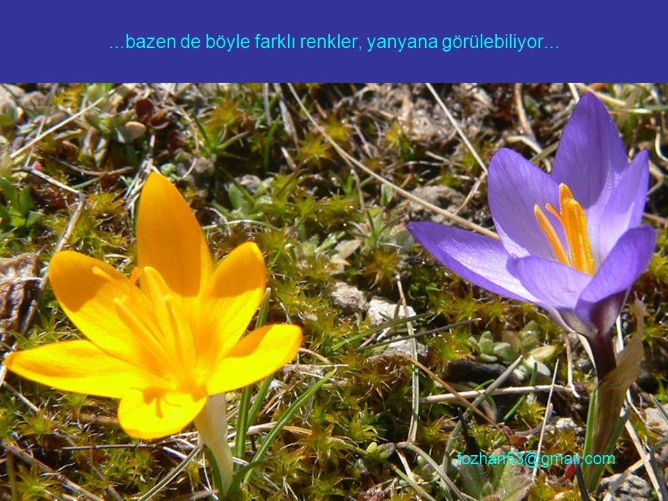 ...bazen de böyle farklı renkler, yanyana görülebiliyor... fozhan53@gmail.com