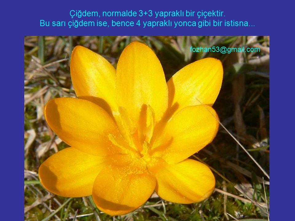 Çiğdem, normalde 3+3 yapraklı bir çiçektir. Bu sarı çiğdem ise, bence 4 yapraklı yonca gibi bir istisna... fozhan53@gmail.com