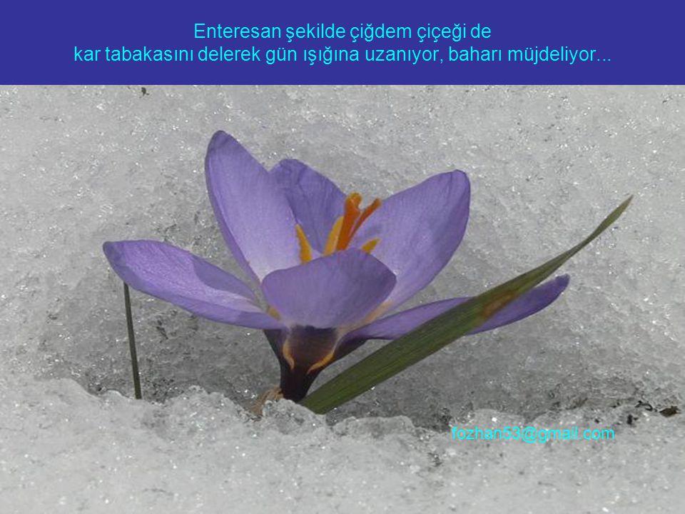 Enteresan şekilde çiğdem çiçeği de kar tabakasını delerek gün ışığına uzanıyor, baharı müjdeliyor... fozhan53@gmail.com