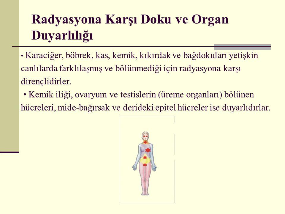 Radyasyona Karşı Doku ve Organ Duyarlılığı Karaciğer, böbrek, kas, kemik, kıkırdak ve bağdokuları yetişkin canlılarda farklılaşmış ve bölünmediği için
