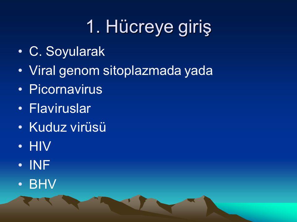 1. Hücreye giriş C. Soyularak Viral genom sitoplazmada yada Picornavirus Flaviruslar Kuduz virüsü HIV INF BHV