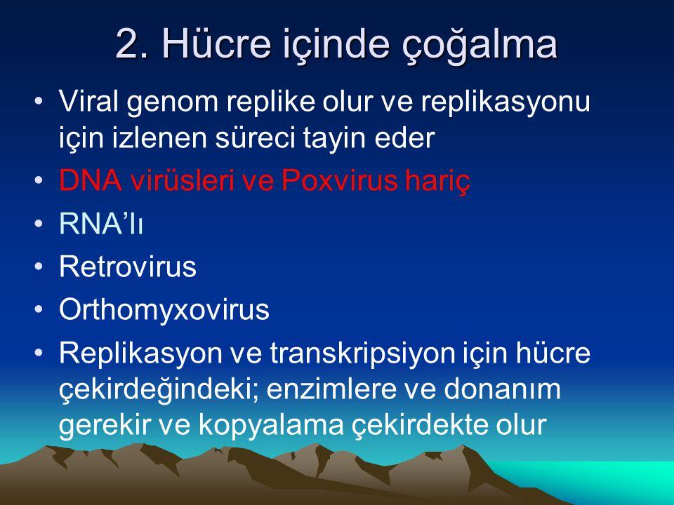 2. Hücre içinde çoğalma Viral genom replike olur ve replikasyonu için izlenen süreci tayin eder DNA virüsleri ve Poxvirus hariç RNA'lı Retrovirus Orth