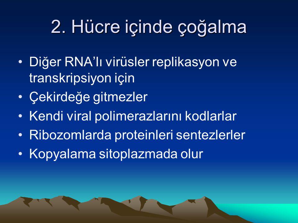 2. Hücre içinde çoğalma Diğer RNA'lı virüsler replikasyon ve transkripsiyon için Çekirdeğe gitmezler Kendi viral polimerazlarını kodlarlar Ribozomlard