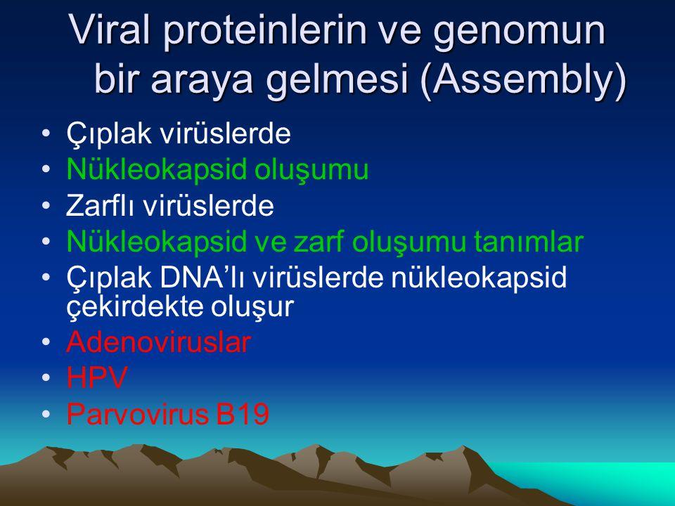 Viral proteinlerin ve genomun bir araya gelmesi (Assembly) Çıplak virüslerde Nükleokapsid oluşumu Zarflı virüslerde Nükleokapsid ve zarf oluşumu tanım