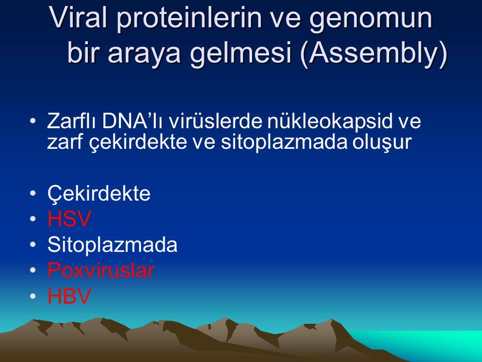 Viral proteinlerin ve genomun bir araya gelmesi (Assembly) Zarflı DNA'lı virüslerde nükleokapsid ve zarf çekirdekte ve sitoplazmada oluşur Çekirdekte