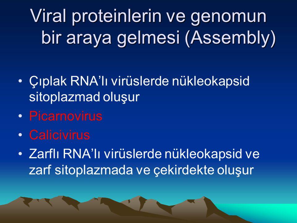 Viral proteinlerin ve genomun bir araya gelmesi (Assembly) Çıplak RNA'lı virüslerde nükleokapsid sitoplazmad oluşur Picarnovirus Calicivirus Zarflı RN