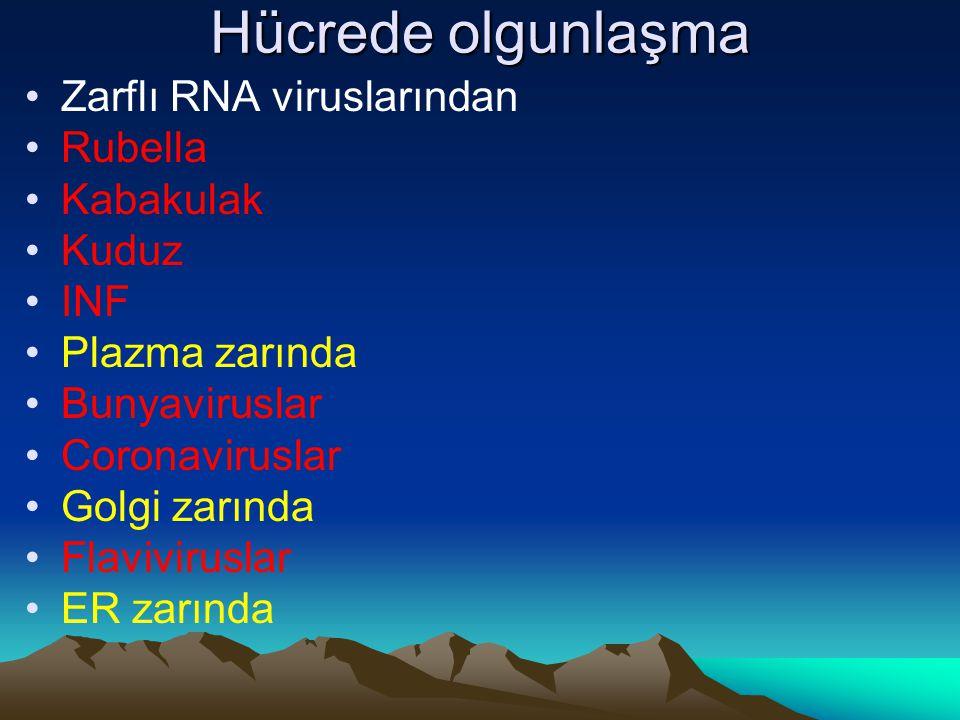 Hücrede olgunlaşma Zarflı RNA viruslarından Rubella Kabakulak Kuduz INF Plazma zarında Bunyaviruslar Coronaviruslar Golgi zarında Flaviviruslar ER zar
