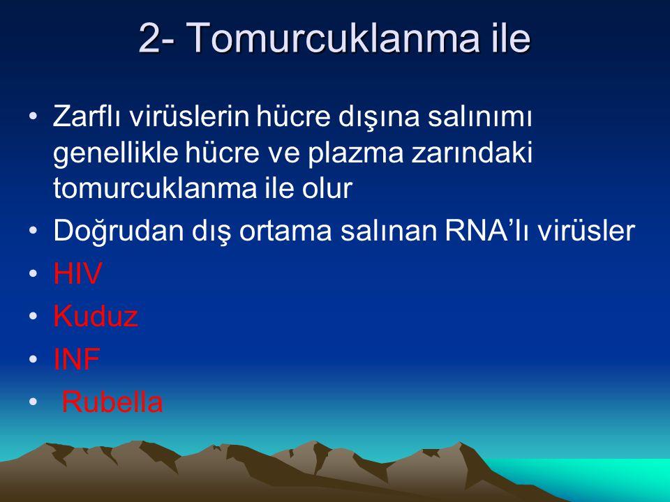 2- Tomurcuklanma ile Zarflı virüslerin hücre dışına salınımı genellikle hücre ve plazma zarındaki tomurcuklanma ile olur Doğrudan dış ortama salınan R